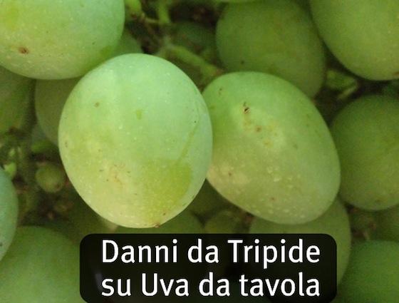 Dicarzol 50 sp tolleranza zero per i tripidi - Potatura vite uva da tavola ...